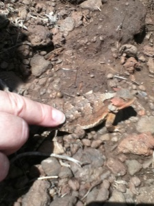 Adult Horned-Lizard let me pet it. The reddish tint is to blend in with the red lava around the mountains.